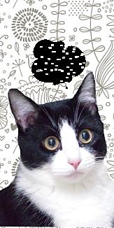 黒白ハチワレ猫