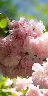 八重桜!A