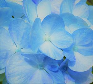 ブルーフラワー(紫陽花)
