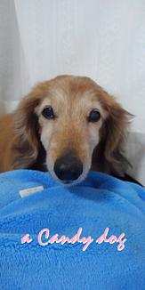 a CANDY DOG Ⅱ(ケースタイプのみ)