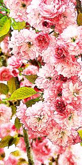 しだれ八重桜
