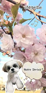マルシーズーしずく~桜~