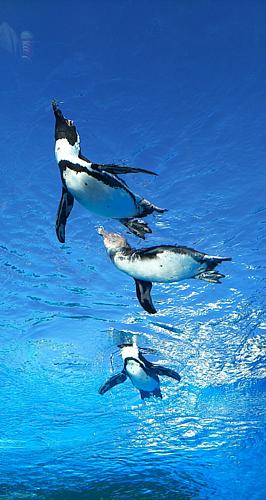 ◆空飛ぶペンギン◆