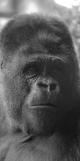 real gorilla