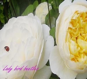 バラとテントウ虫