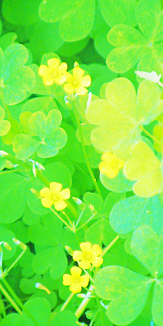 カタバミの花