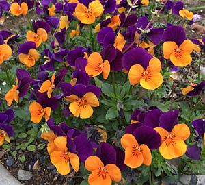 オレンジと紫