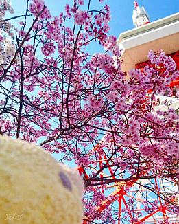 桜と青とピヨちゃんと
