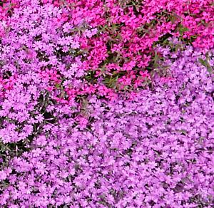 花5 芝桜