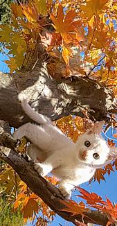 白猫と紅葉