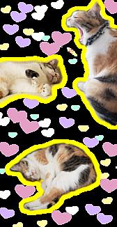 ミケ猫テマの眠い一日