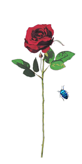 バラとコガネムシ