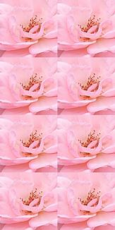 薔薇_U_8