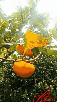 『~柿~』①