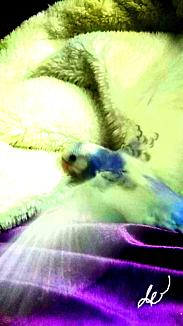 〈セキセイインコのヒナちゃんの羽根ブンブン〉