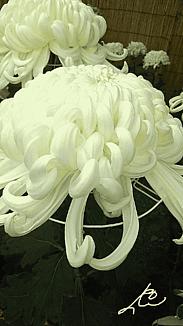 ⒈ー①『大きな菊の花』