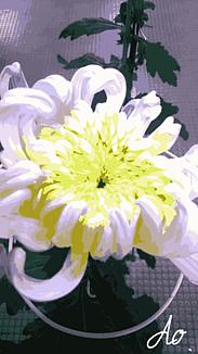 『大輪の菊の花』1.