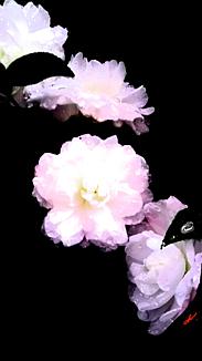 〔白い椿①〕