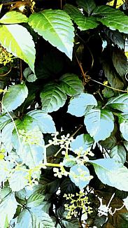 〈藪枯らし(やぶがらし)の小さな花〉②