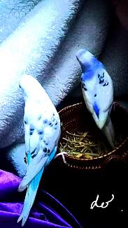〈二羽のセキセイインコ〉③