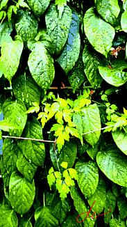 〔雨に濡れた蔦(つた)②〕