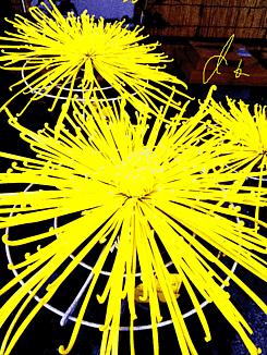 ~美しい菊のお花~②