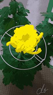 『大輪の菊の花』2.
