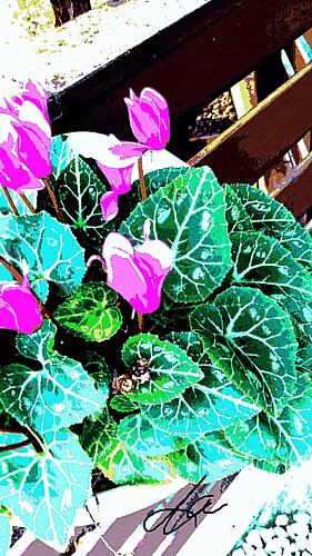 『ミニシクラメンの花』