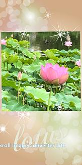蓮(ハス) beautiful lotus