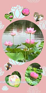 蓮(ハス) beautiful Lotus ver.3