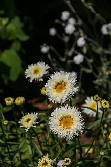 SAO 白い花