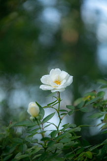 SAO 白い花 一輪
