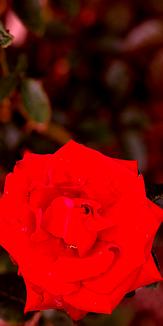 ROSE_ORIGINAL