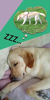 犬(おさんぽの夢をみてスヤスヤ)