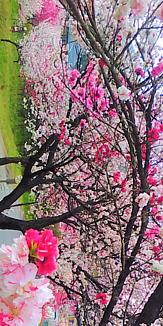 景色 花 長野県の花桃