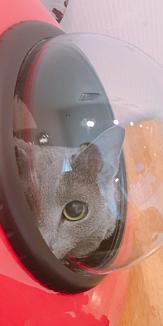 猫・ロシアンブルー(ふてくされ・主人目線)
