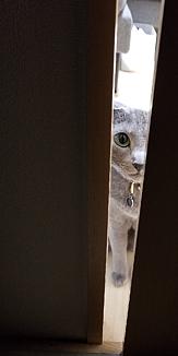 猫・ロシアンブルー(出待ち・主人目線)