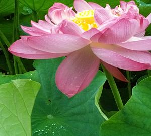 蓮の花ケース
