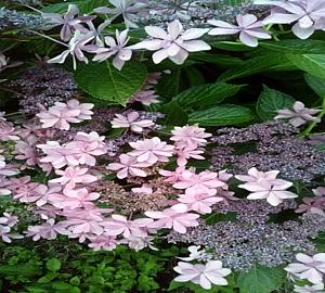 紫陽花ぴんく
