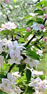 りんごの花畑