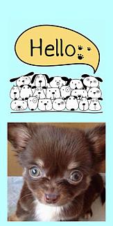 チワワ&ハローワン (犬)6 リボン