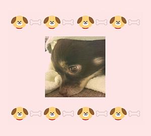 チワワ&犬・骨6 リボン