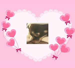 犬/イヌ/いぬ~チワワ&ピンクハート型風船&赤リボン2
