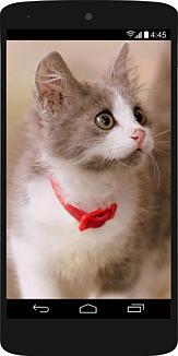 スマホの中に何かを見つめている灰白子猫77