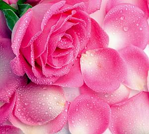 ピンク色のバラ&花びら