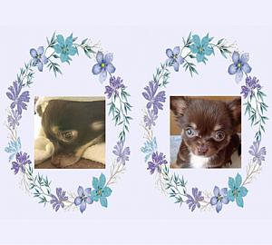 チワワ&薄紫/青/ブルー花リース1 (犬) リボン