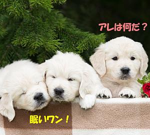 3匹の可愛いゴールデンレトリバーの子犬