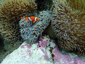 カクレクマノミ 海