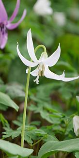白いカタクリの花