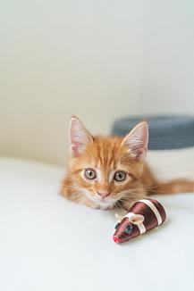子猫のマンチカン